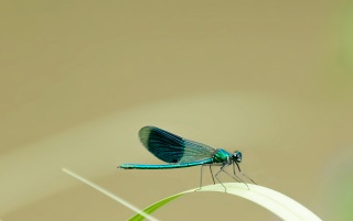 Little blue dragonfly wallpapers and stock photos