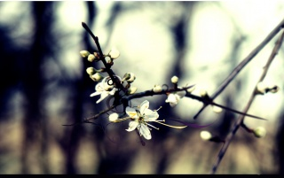 Isolated cherry flower wallpapers and stock photos
