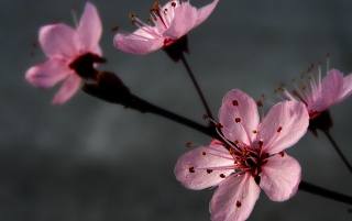 Plum blossoming wallpapers and stock photos