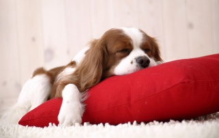 Sleeping puppy wallpapers and stock photos