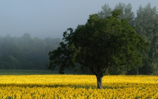 Campo de girasol wallpapers and stock photos