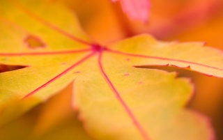 Yellow leaf macro wallpapers and stock photos