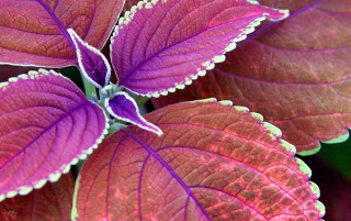Few purple leaves wallpapers and stock photos