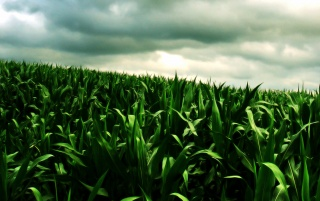 Random: Green corn field
