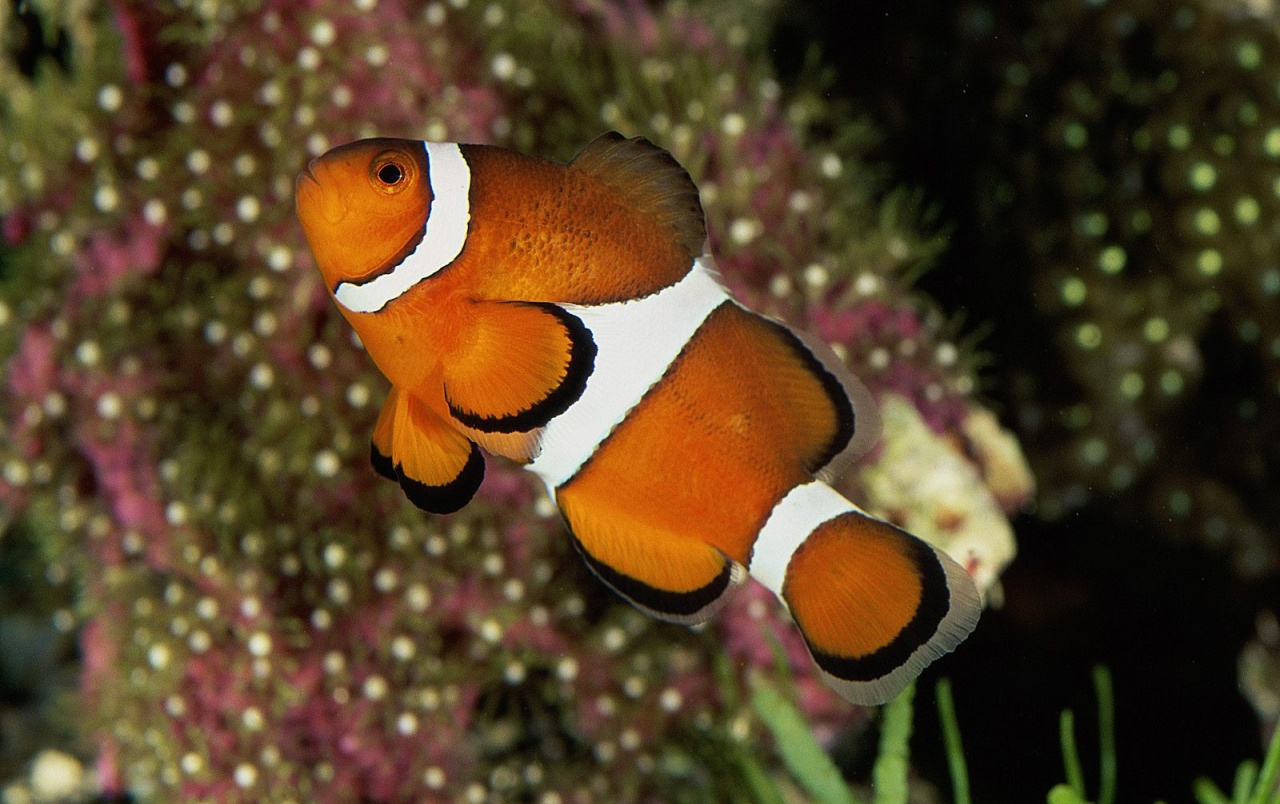 Percula clownfish wallpapers percula clownfish stock photos for Clown fish habitat