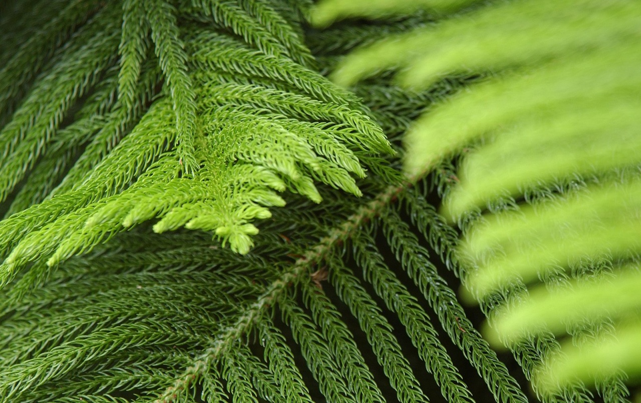 Evergreen conifers wallpapers