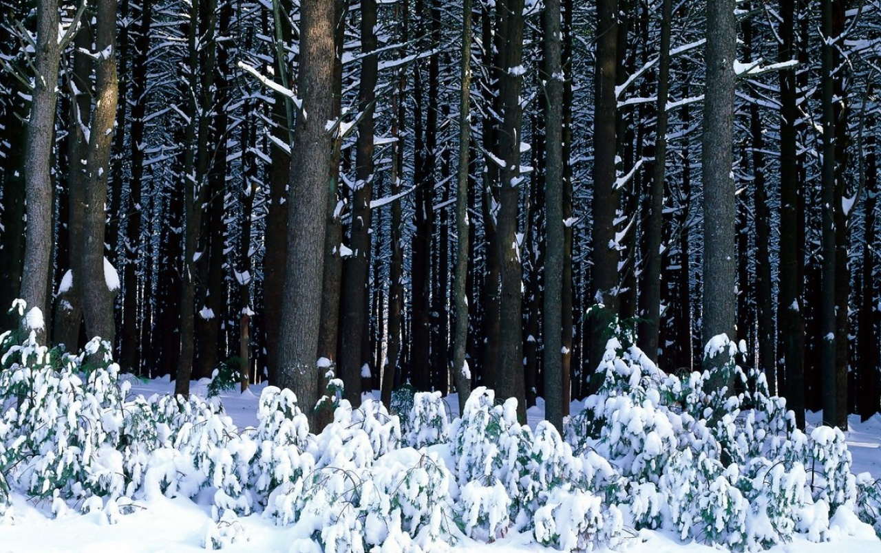 White pine trees wallpapers