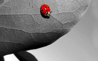 Ladybug on leaf wallpapers