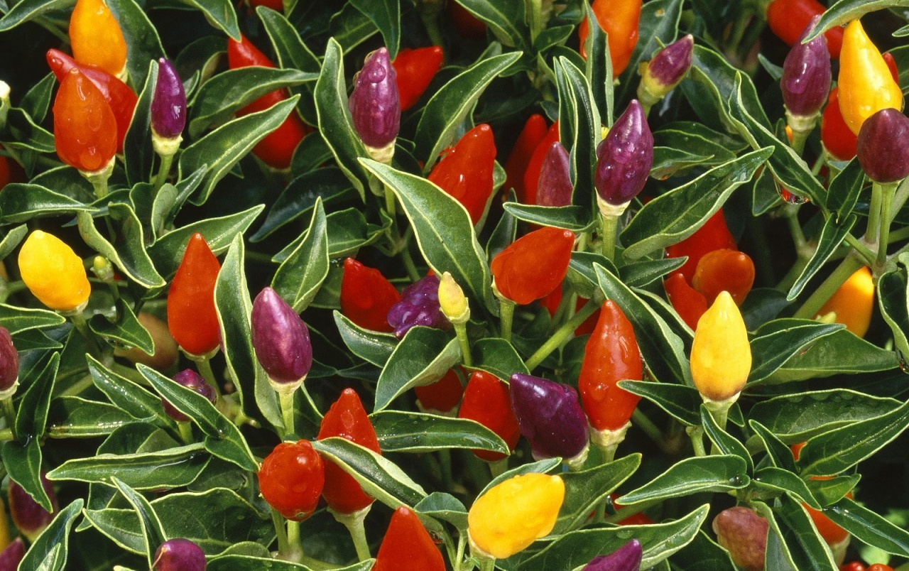 Pepper plants wallpapers