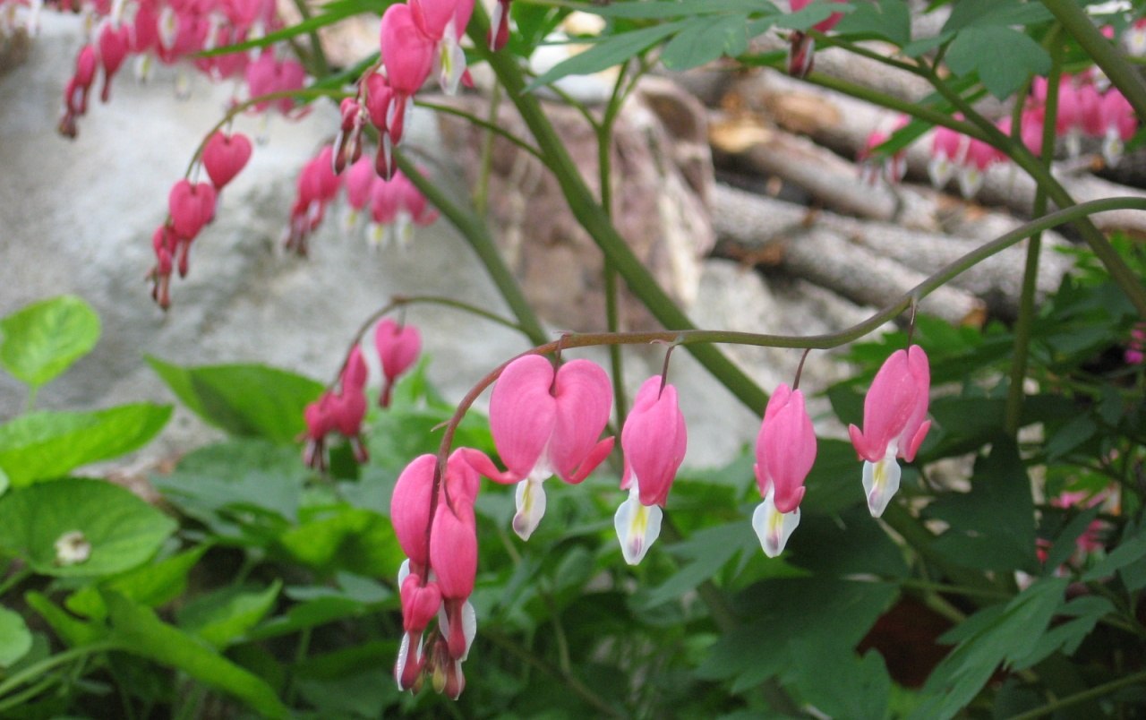 Bleeding Hearts wallpapers