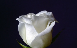 White Rose Wallpapers White Rose Stock Photos