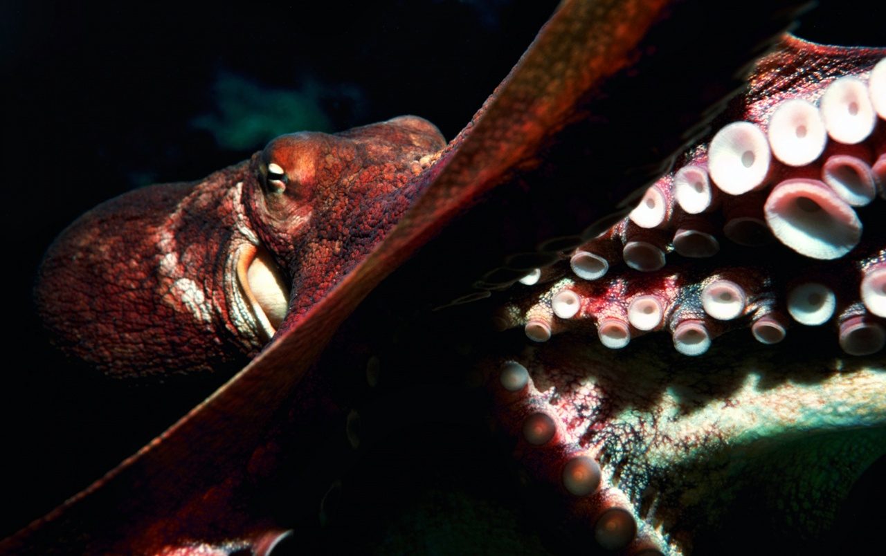 Octopus Wallpapers And Stock Photos