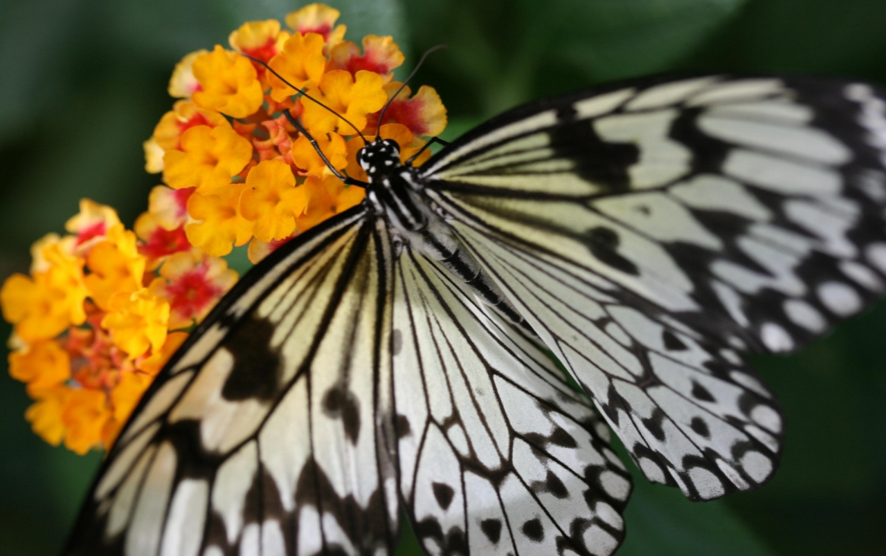 Schmetterling  Mainau wallpapers