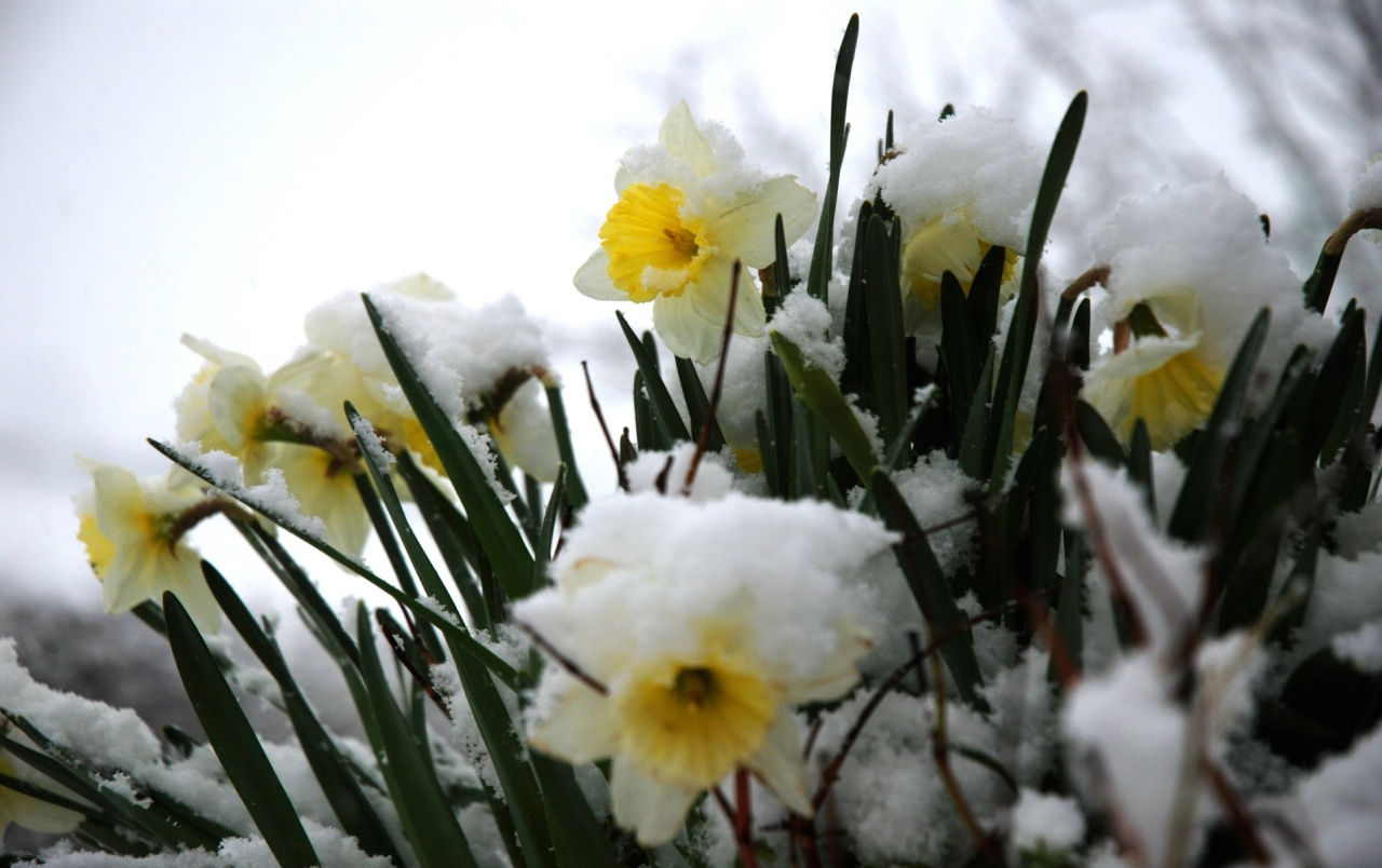 daffodils in the snow wallpapers | daffodils in the snow stock photos