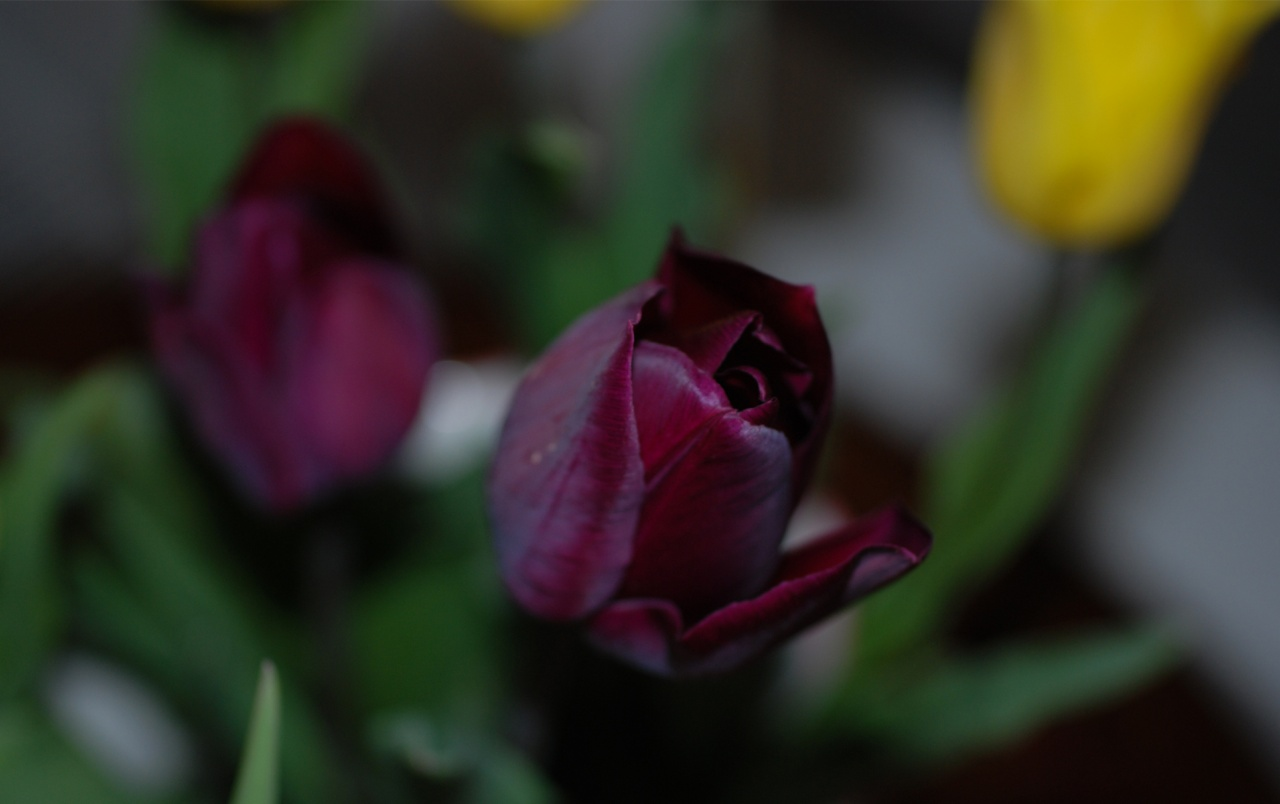 wallpapers Purple Tulips Flowers