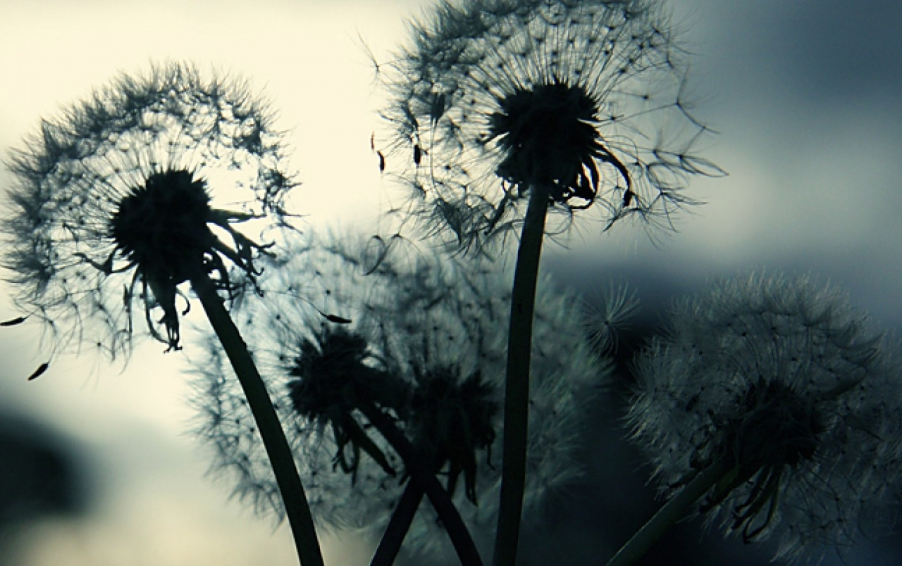 Dandelion Dand wallpapers