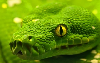 Snake - Green Emerald Boa wallpapers