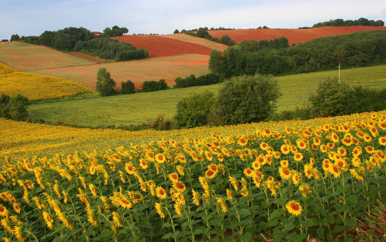 Sun flower field wallpapers