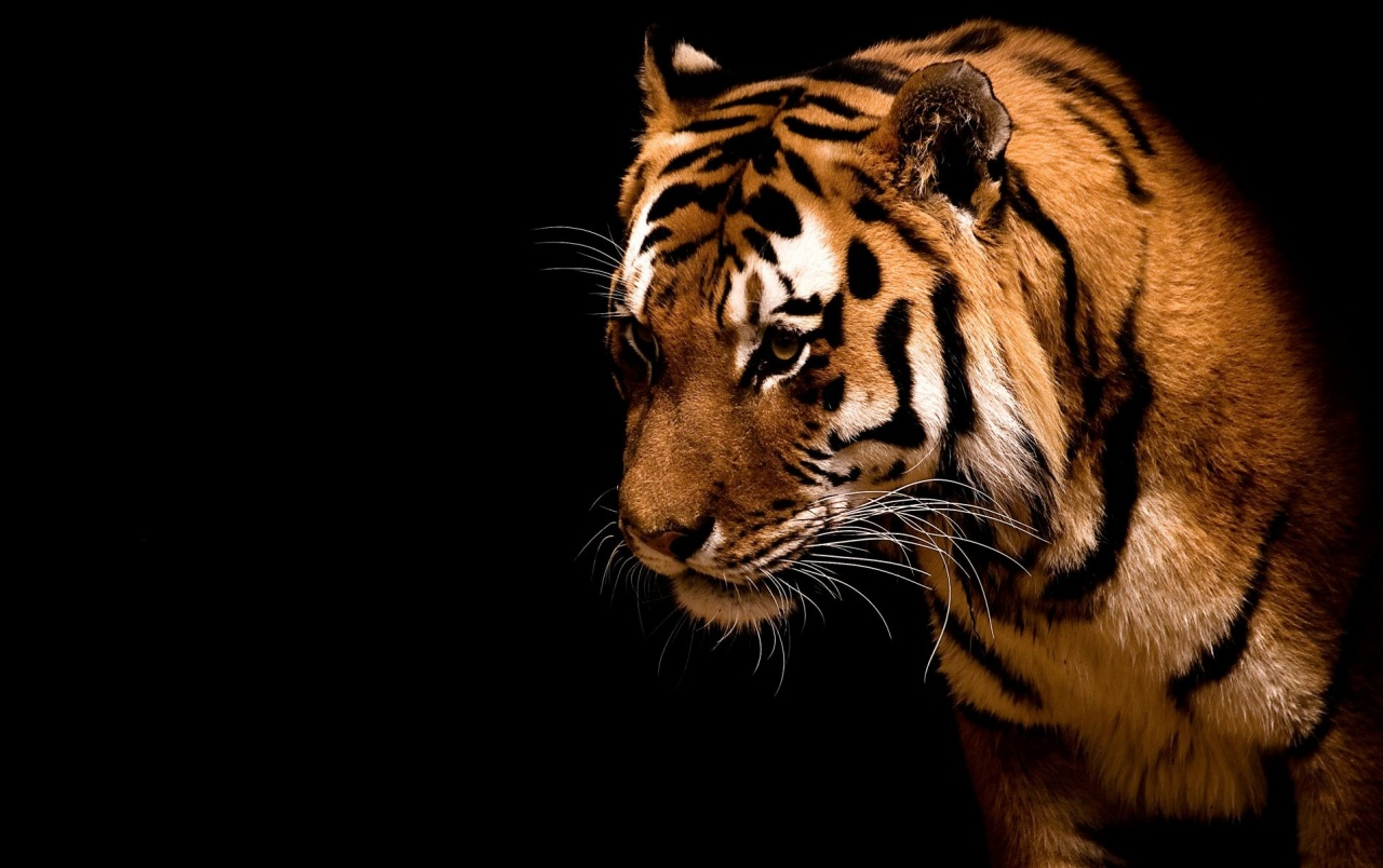 Tiger in the dark wallpapers