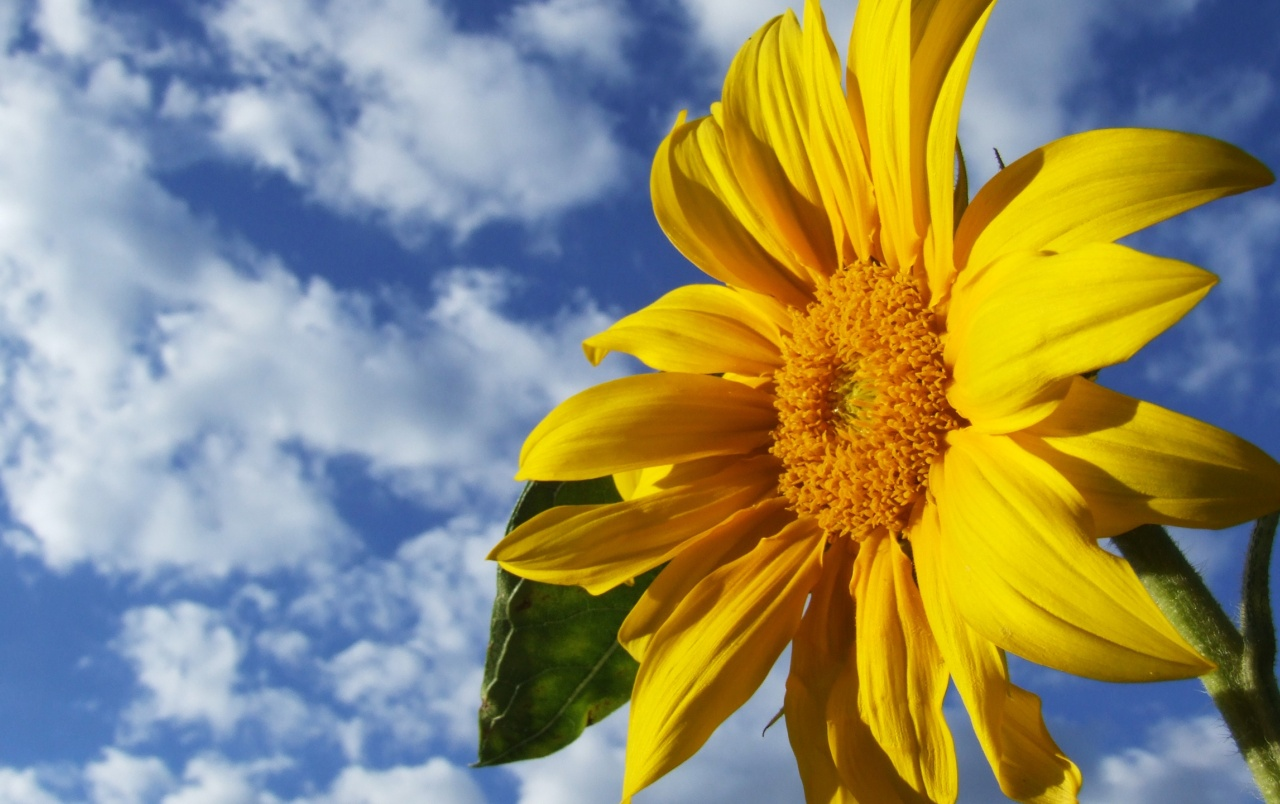 sunflower wallpapers | sunflower stock photos