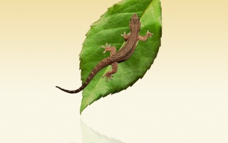 Lizard and leaf wallpapers