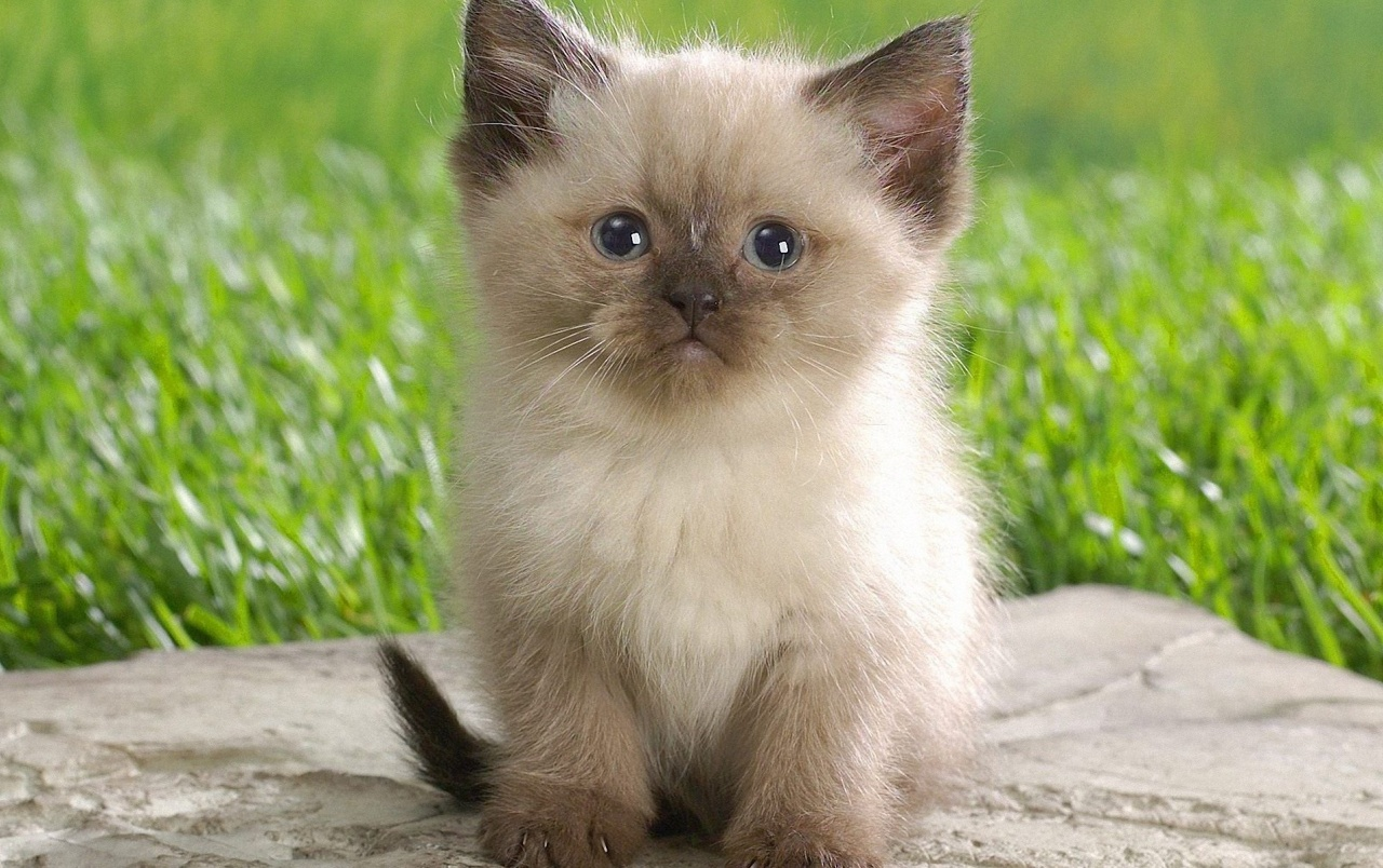 Cute Himalayan Kitten wallpapers