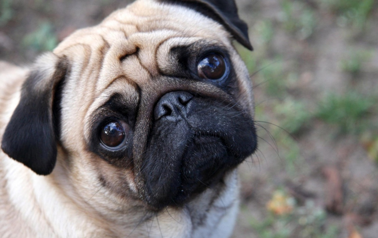 Cute Pug wallpapers