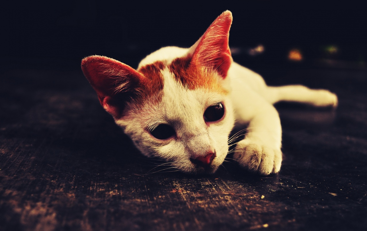 wallpapere cute white cat cute white cat wallpapers