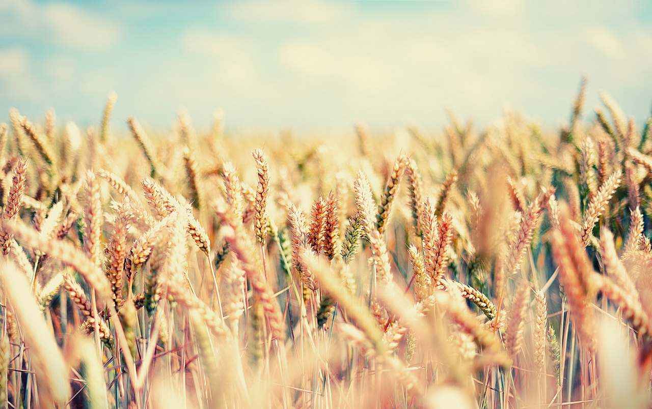 Colourful Iphone View Hd Nature Wallpapers Wheat: Sommer Field Hintergrundbilder