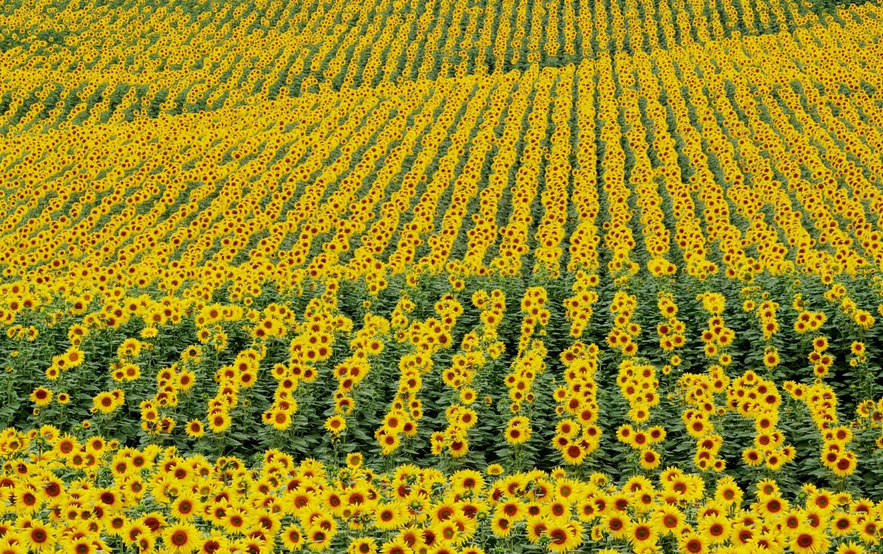 HD Sunflower Field Wallpapers