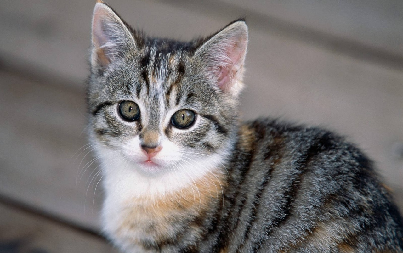 Cute Gray And White Kitten Wallpapers