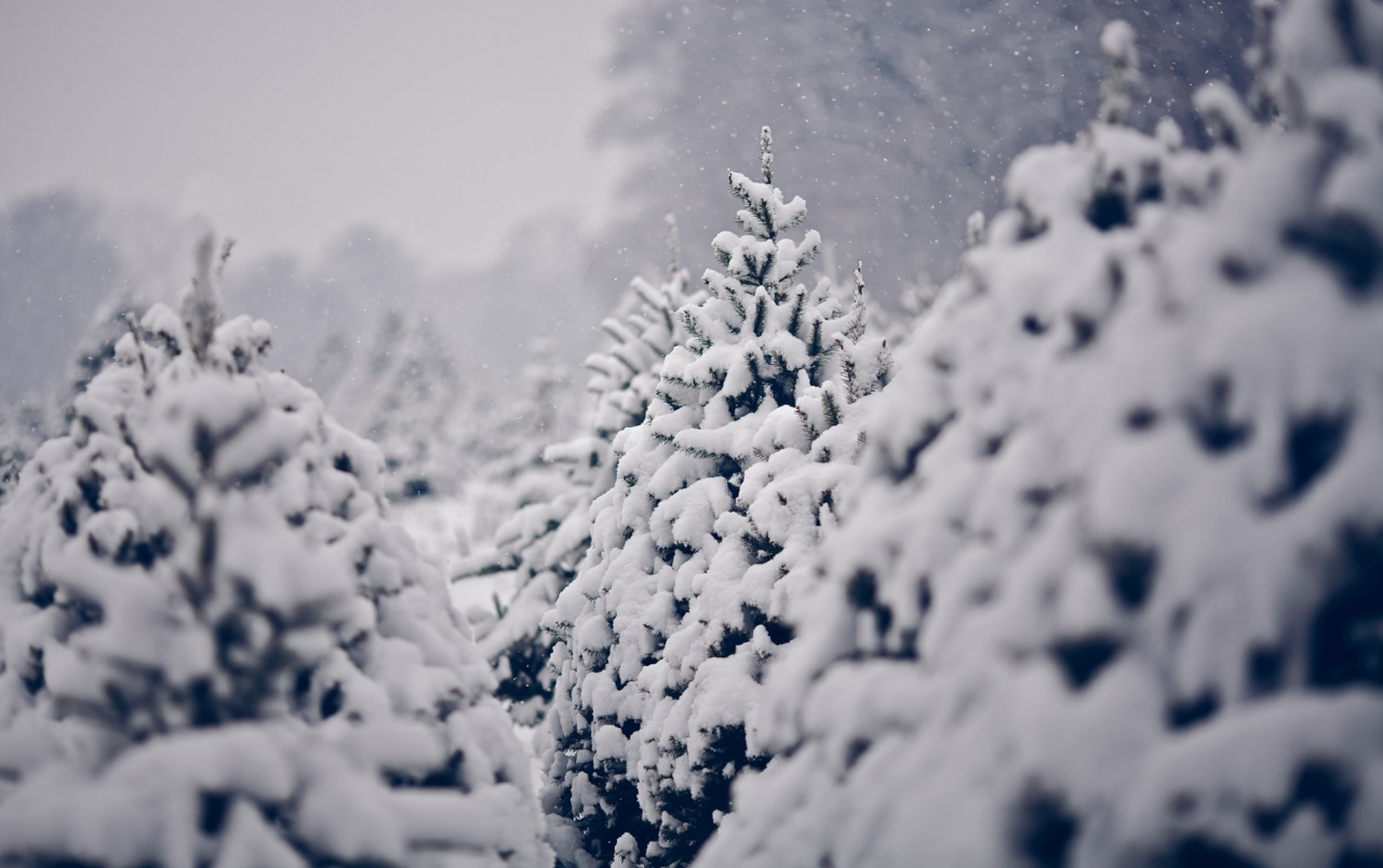 Snow on pine trees wallpapers snow on pine trees stock - Images of pine trees in snow ...