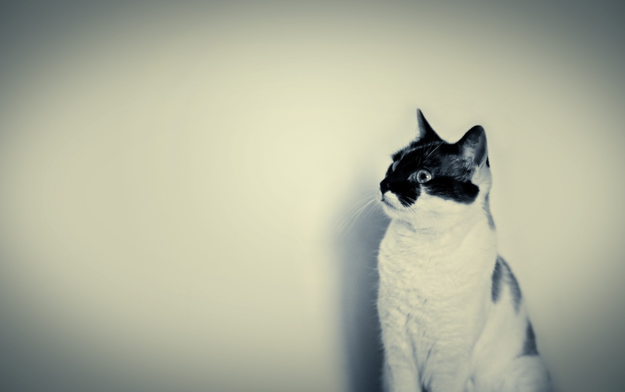 Cute Black And White Cat Wallpapers