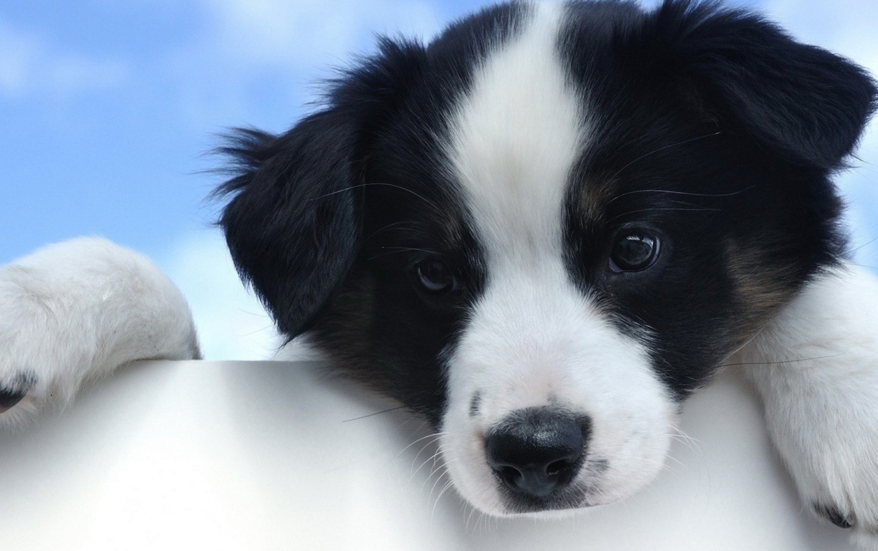 HD Cute White And Black Puppy Wallpapers