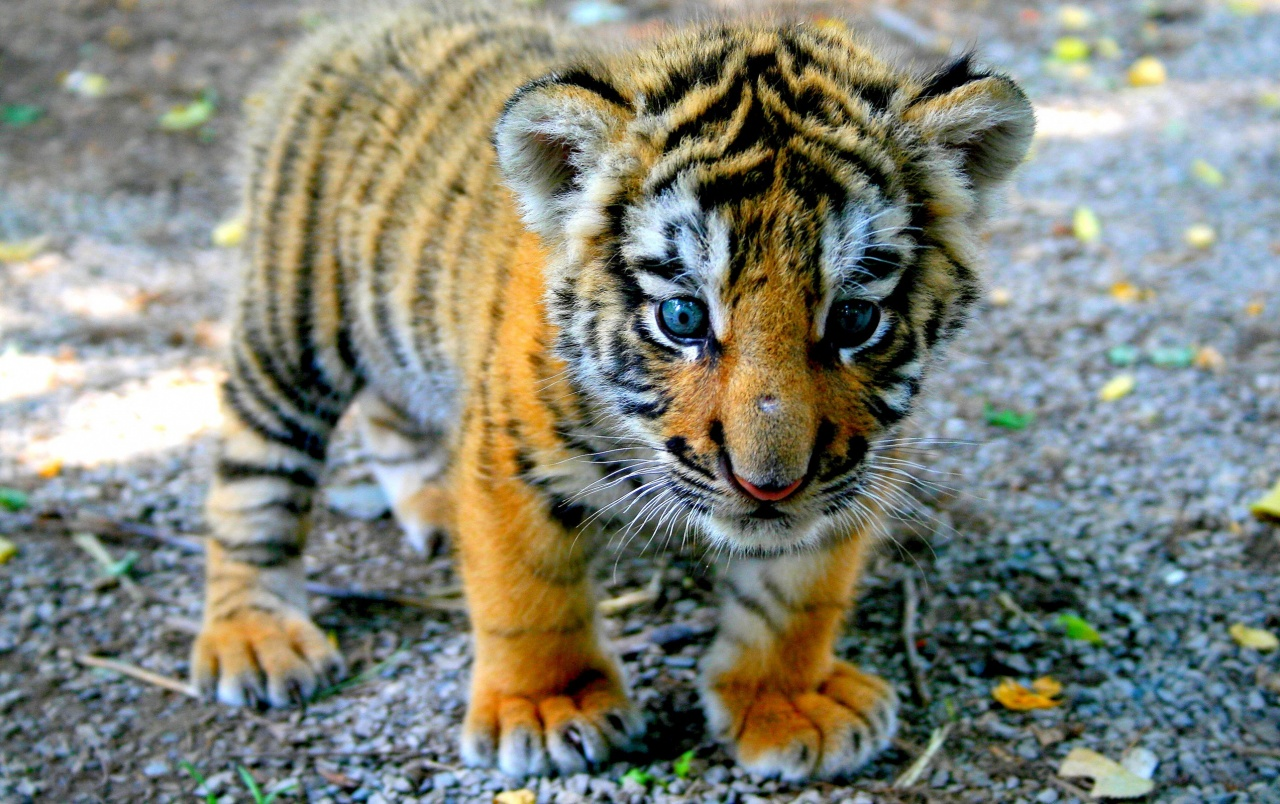 Cute tiger cub wallpapers cute tiger cub stock photos wide cute tiger cub wallpapers thecheapjerseys Image collections
