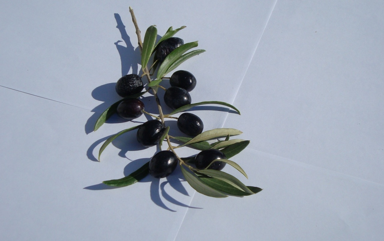 Olive Branch With Olives Wallpapers Olive Branch With Olives Stock Photos