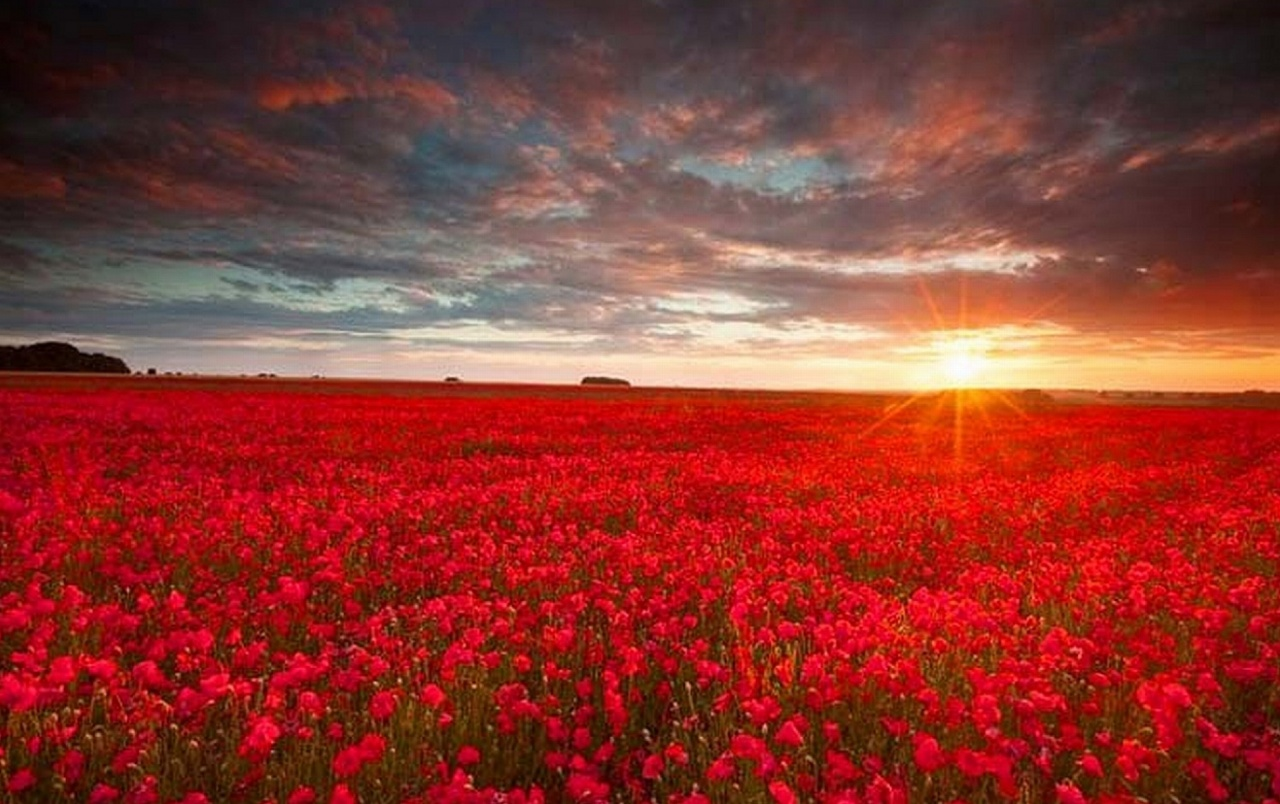Red flower field wallpapers red flower field stock photos - Red flower desktop wallpaper ...