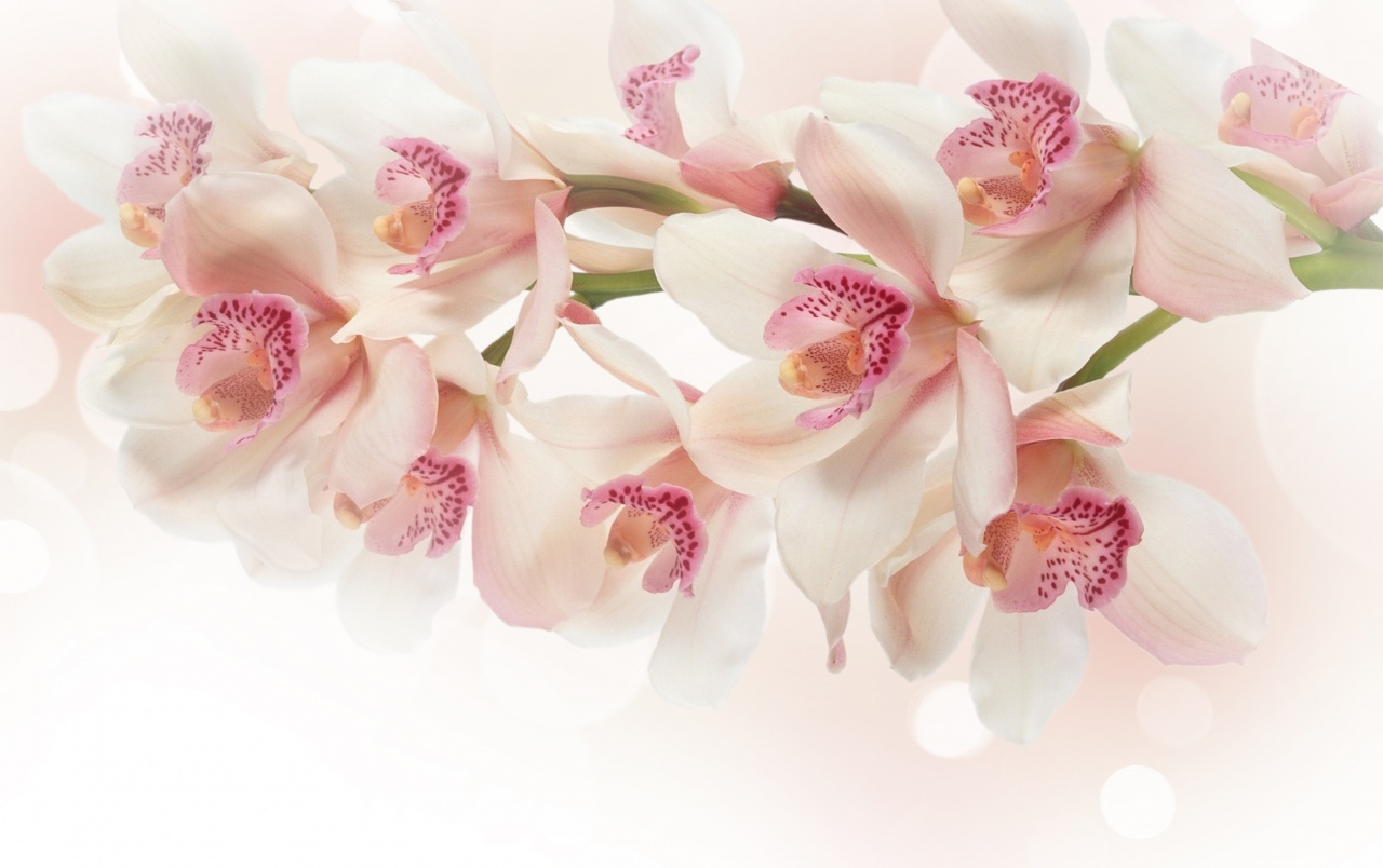 White Orchid Flowers Wallpapers White Orchid Flowers Stock Photos