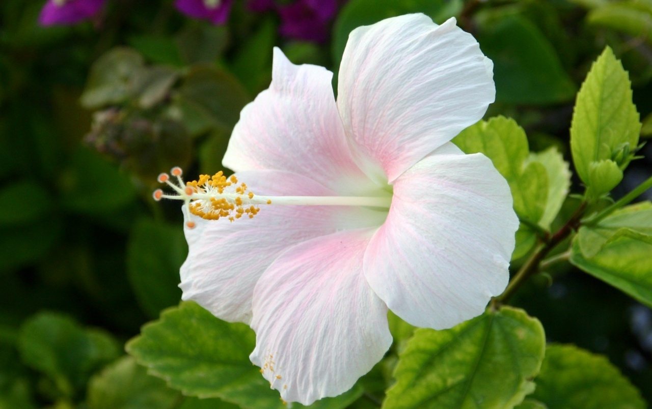 White Hibiscus Flowers Wallpapers White Hibiscus Flowers Stock Photos