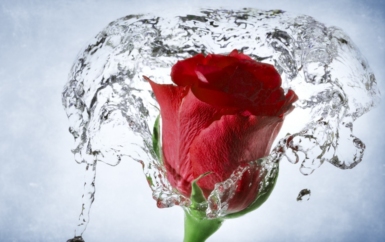 time lapse water drops rose wallpapers time lapse water drops rose
