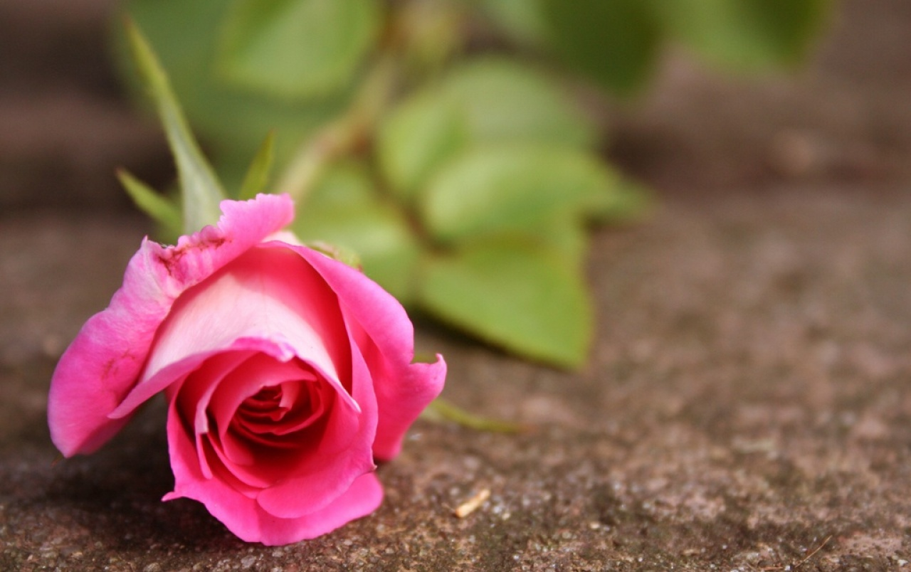 Pink rose wallpapers pink rose stock photos - Pink rose black background wallpaper ...