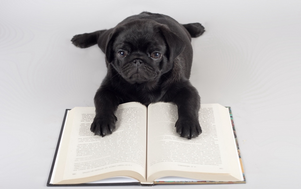 Pug Iphone Wallpaper: Pug Reading Stock Photos