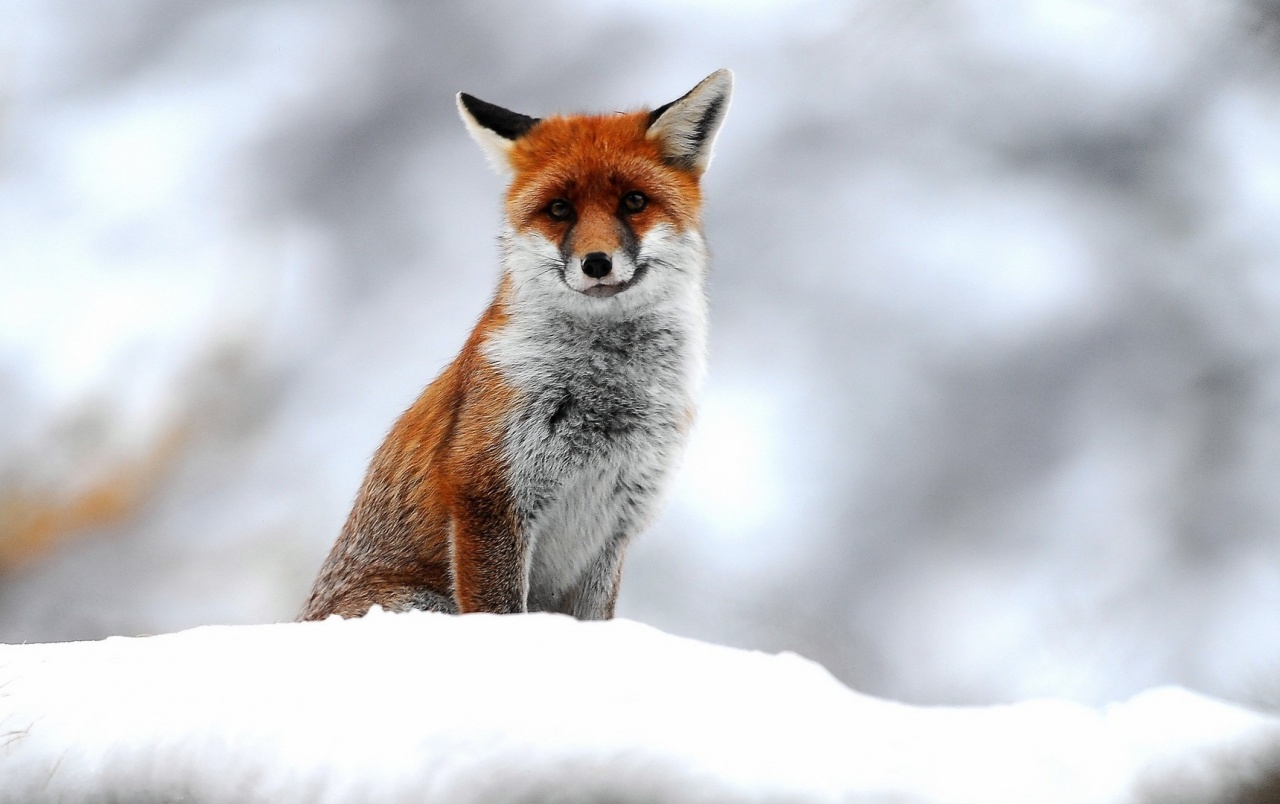 Cute Small Fox wallpapers