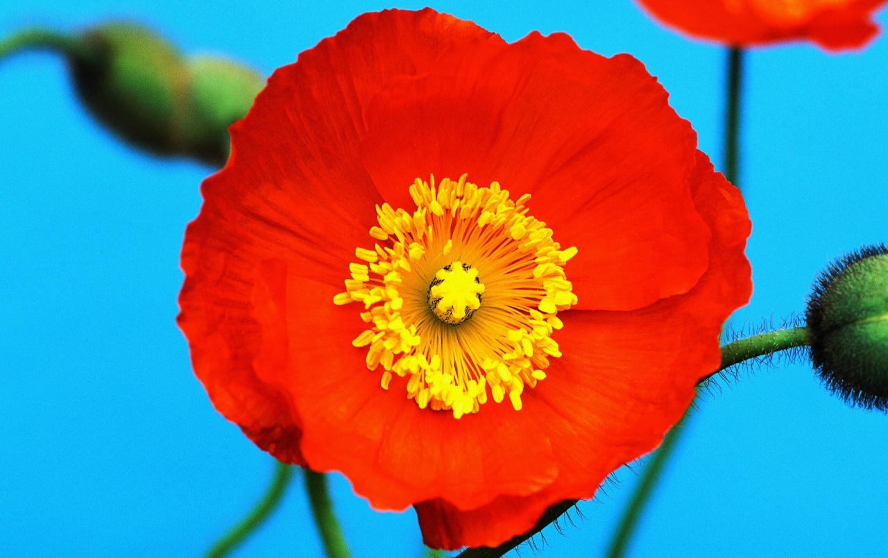 Poppy Flower Wallpapers Poppy Flower Stock Photos