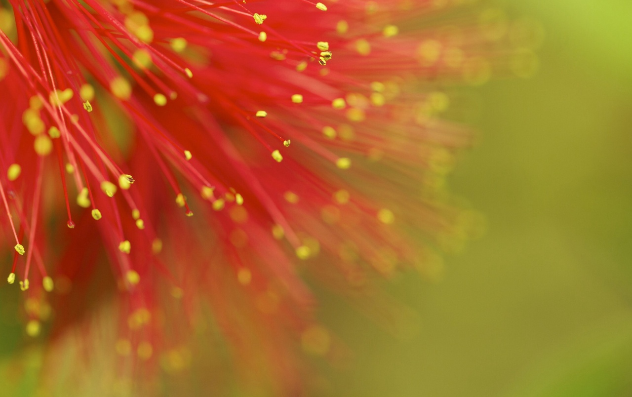 Red Mimosa wallpapers