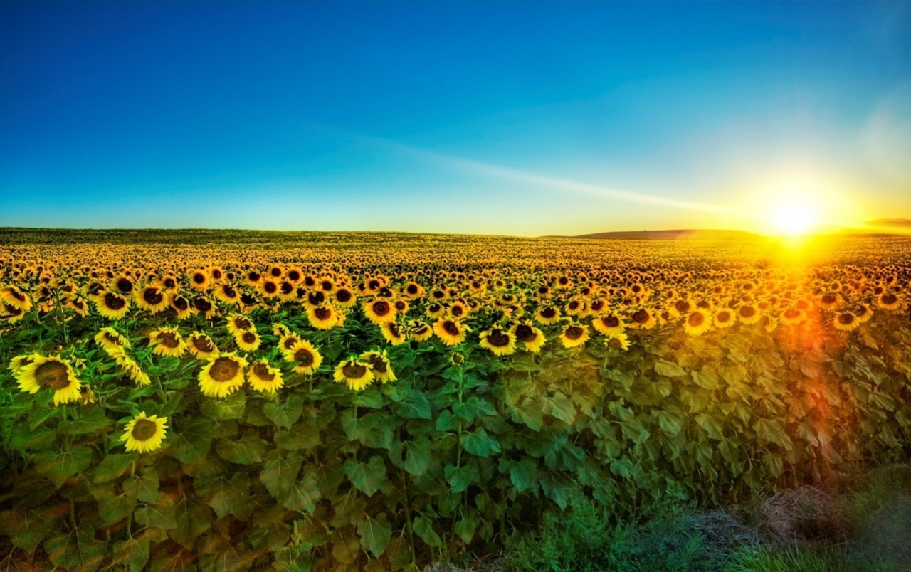 OriginalWide Sharp Sunshine Sunflower Field Wallpapers
