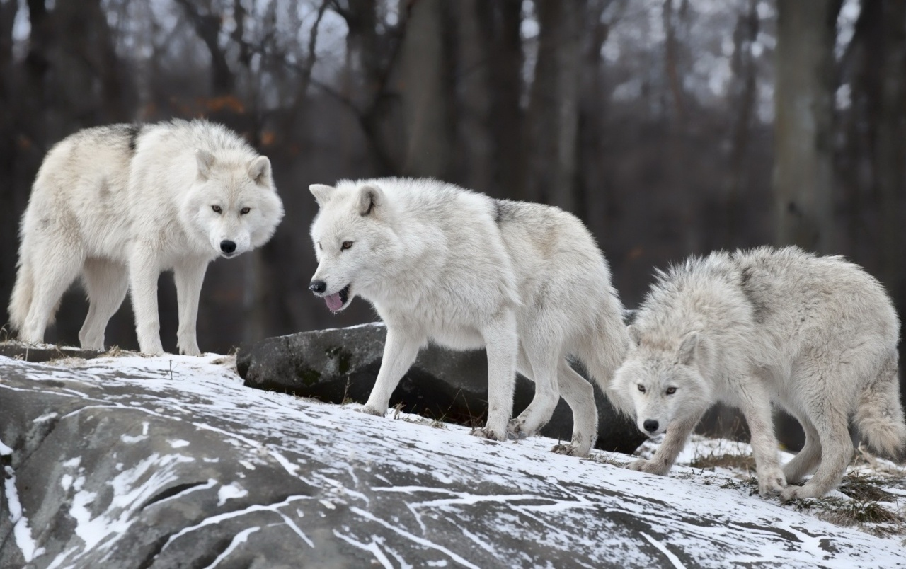 white wolves wallpapers white wolves stock photos