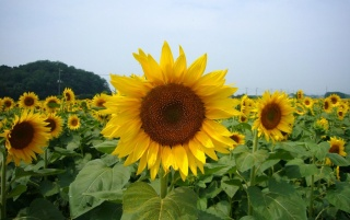Sunflowers Close Up wallpapers