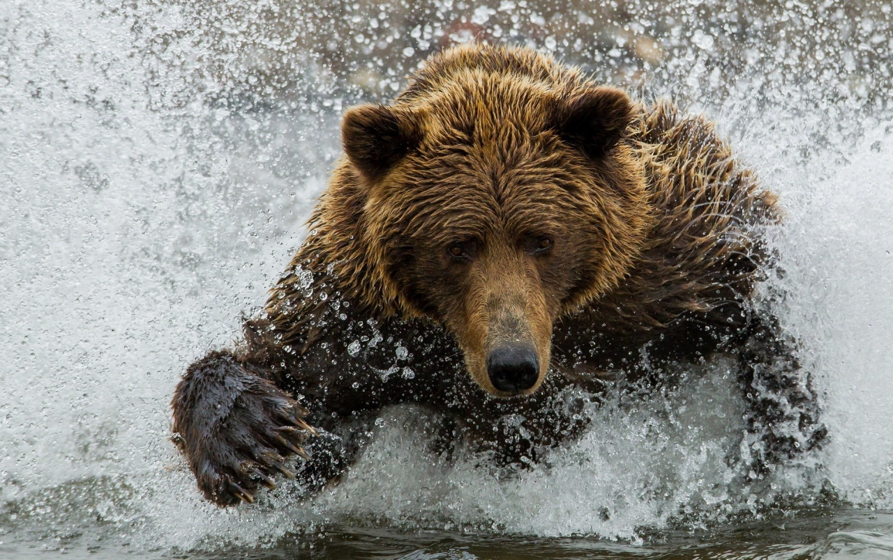 brown bear in the river wallpapers | brown bear in the river stock