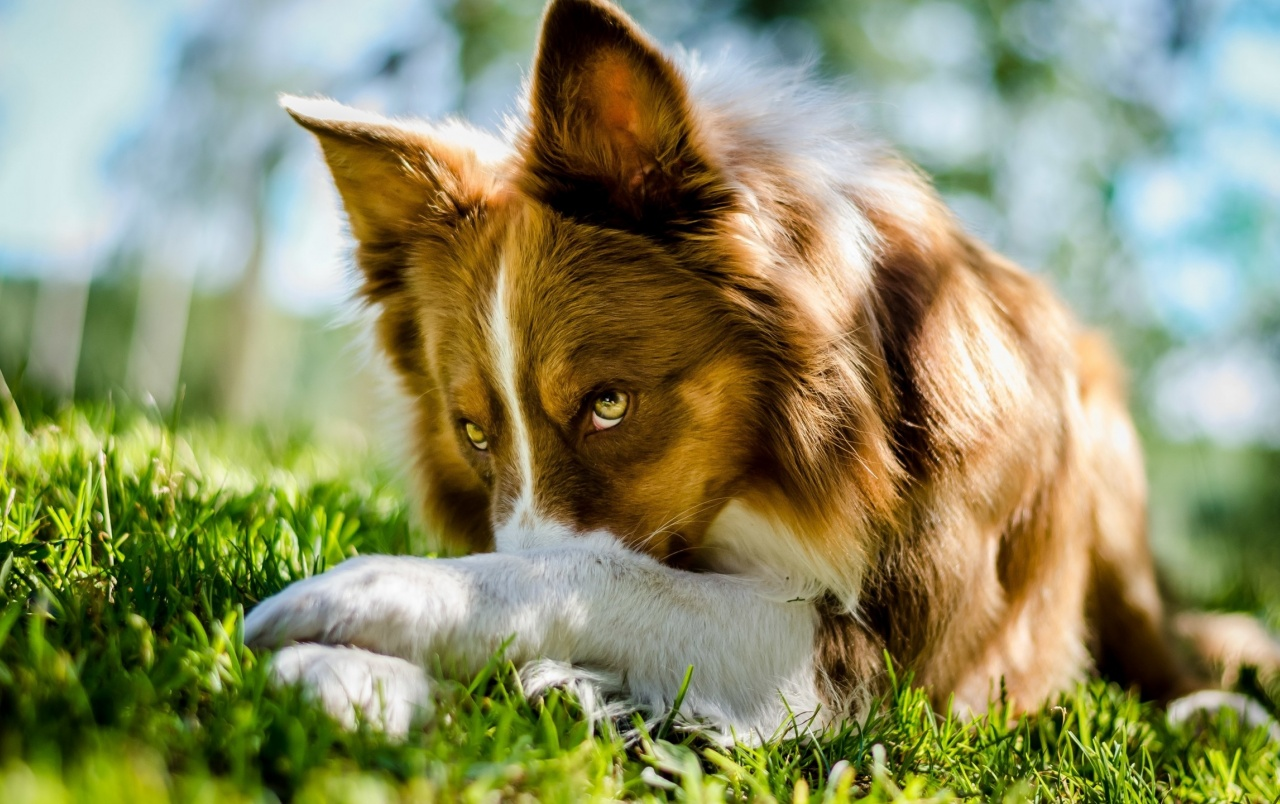 Beautiful Collie Dog wallpapers